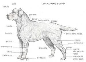 regione-del-corpo-labrador